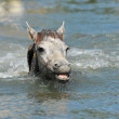 Camargue foal in the water — Stock Photo #3625936