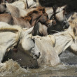 Herd of Camargue horses — Stock Photo