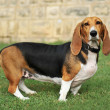 Stock Photo: Basset artesien