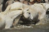 Troupeau de chevaux de camargue — Photo