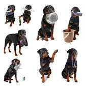 Rottweiler and objects — Stock Photo