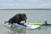 Rottweiler und windsurf — Stockfoto