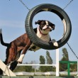 Boxer in agility - Stock Photo
