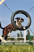 Boxer in agility — Stock Photo