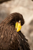 águia — Foto Stock