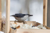 Nuthatch from the seed in the beak — Stock Photo