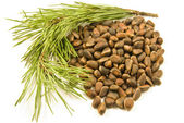 Cedar nuts and prickle — Stock Photo