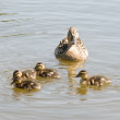 Duck with the ducklings — Stock Photo