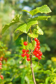 Red currants branch — Stock Photo