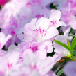 Pink Blossom. Close-Up of Azalea Flower. — Stock Photo