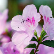 Azalea Flower. — Stock Photo