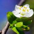 White apple flowers — Stock Photo