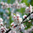 Tree branch with apricot flowers over natural ba — Stock Photo