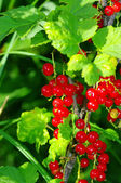 Red currant on the branch — Stock Photo