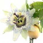 Close up of passiflora — Stock Photo #3565532