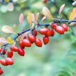 Cornelian cherries on branch — Stock Photo #3565549