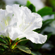 White Blossom Close-Up of Azalea Flower. — Stock Photo