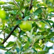 Apple of green on branch. — Stock Photo