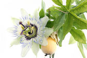 Close up of passiflora (passion fruit and passionflower) on whit — Stock Photo