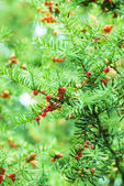 Common yew red seed — Stock Photo