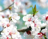 Abrikoos bloemen — Stockfoto