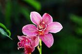 日光自然な背景の上に美しいピンクの蘭 — ストック写真