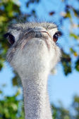 Portrait of an ostrich with a humorous expression — Stock Photo