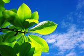Fresh leaves — Stock Photo