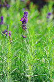 Macro of lavender plant. herbal landscape of aromatic plant. — Stock Photo