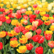 Tulip Field — Stock Photo #2922756