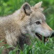 Gray Wolf — Stock Photo #3192708
