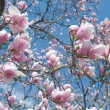 Magnolia Tree — Stock Photo