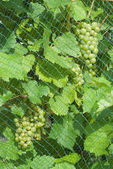Grapevine with Fruit — Stock Photo
