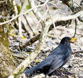Starling — Stok fotoğraf