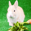 Stock Photo: Domaestic rabbit and carrot