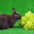 Hungry domestic rabbit - Foto Stock