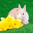 Stock Photo: Rabbit and yellow narcissus