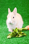 Domaestic rabbit and carrot — Stock Photo