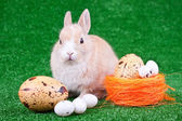 Domestic bunny and eggs — Stock Photo