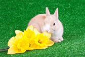 Rabbit and yellow narcissus — Stock Photo