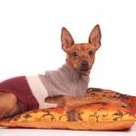 Dog on pillow — Stock Photo