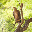 Eagle on a tree branch — Stock Photo