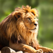 African lion relaxing - Stock Photo