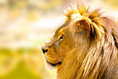 Relaxed African lion — Stock Photo