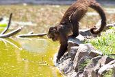 小猴子 — 图库照片