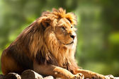 African lion relaxing — Stock Photo