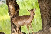 Deer between trees — Stock Photo