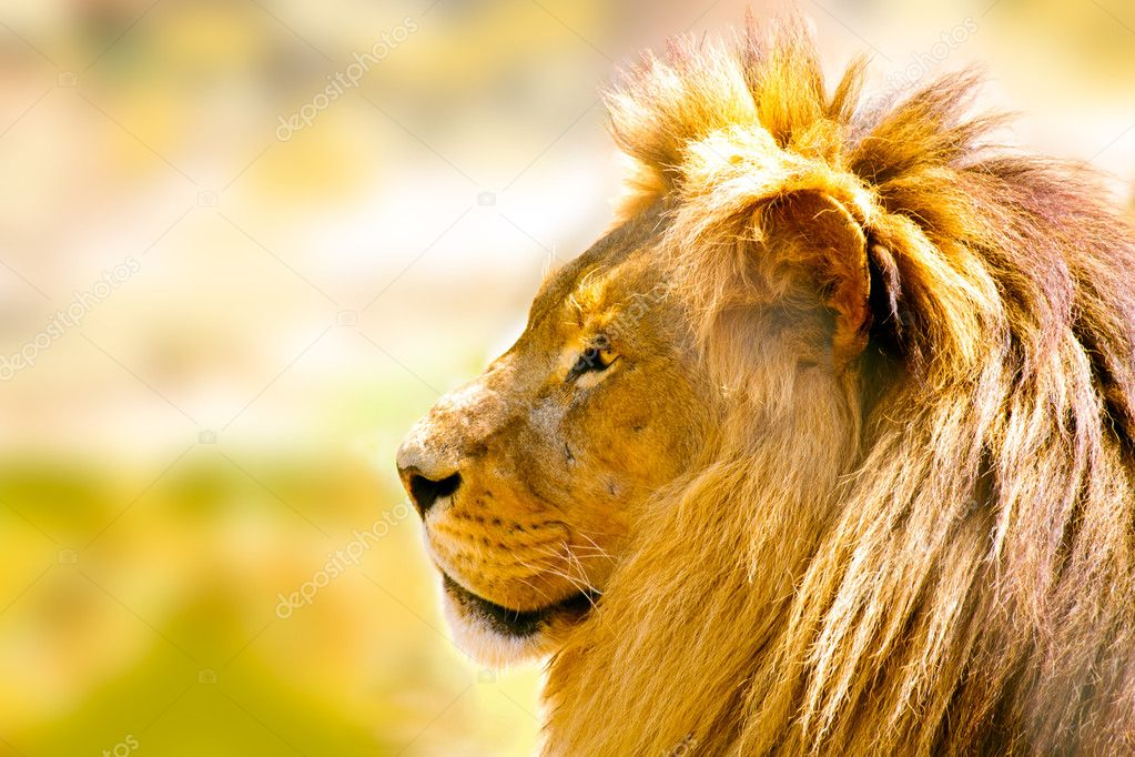 Profile of a relaxed African lion staring  closeup  Stock Photo #3196036