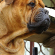 Stock Photo: Bulmastiff Outdoor Portrait