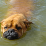 Head of a dog in water (bullmastiff) — Stock Photo